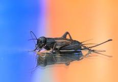 Cricket nero Fotografia Stock