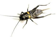 Cricket nero comune isolato su fondo bianco immagini stock