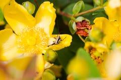Cricket nero sui fiori Fotografia Stock Libera da Diritti