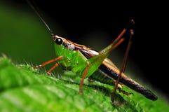 Cricket at night Royalty Free Stock Image