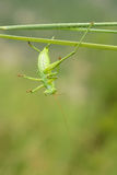 Cricket nymph Stock Image