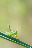Cricket nymph. The close-up of a green cricket nymph on grass royalty free stock photos