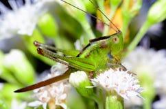 Cricket Nymph Royalty Free Stock Photos