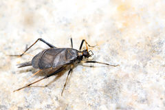 Cricket nymphs Stock Photography