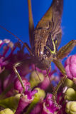 Cricket on pink flower Royalty Free Stock Image