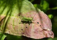 Cricket on a pink and green leaf eaten Stock Photo