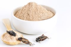 Cricket powder insect for eating as food items made of cooked insect meat in bowl and wood spoon on white background it is good. Source of protein edible for royalty free stock photo