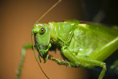 Cricket profile Stock Photography