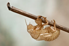Cricket pupae Royalty Free Stock Photos