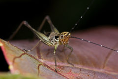 A cricket on a reddish leaf Stock Photo