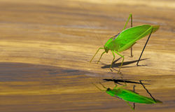 Cricket and reflection Stock Photo