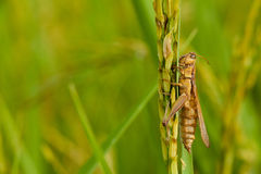 Cricket on rice plant. Close up of animal in the nature Royalty Free Stock Image