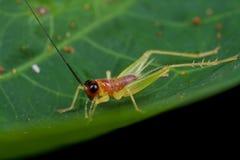 Cricket rosâtre Photo libre de droits