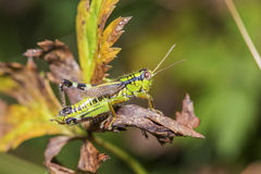 Cricket on a sear leaf Royalty Free Stock Photography