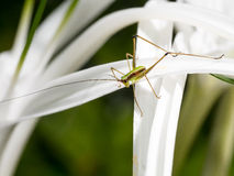 Cricket on the Spider flower Royalty Free Stock Photo