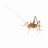 Cricket spiders. Cricket spider,it is characterized in part by long antennae and legs royalty free stock photo