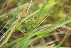 Cricket su una lama di erba Fotografia Stock