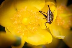 Cricket sul fiore giallo immagini stock libere da diritti