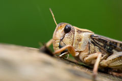 Cricket on tree Royalty Free Stock Images