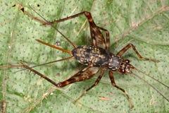 Cricket tropicale della femmina adulta Immagini Stock
