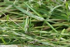 Cricket verde di Bush Fotografia Stock Libera da Diritti