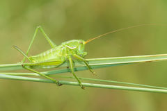 Cricket vert Photo stock