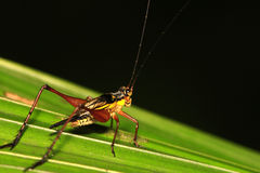 Cricket on leaf 1. Cricket waiting to jump off leaf Royalty Free Stock Image