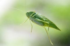 Cricket On Window Pane. A green cricket rest on window pain Stock Images