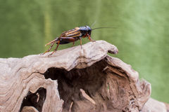 Cricket on wood texture Stock Photo
