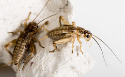 Crickets stock images