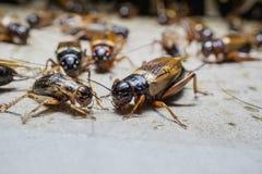 Crickets dans la ferme, parce que consommation comme nourriture et utilisée en tant qu'alimentation des animaux Images stock