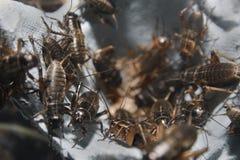 Crickets Stock Photography