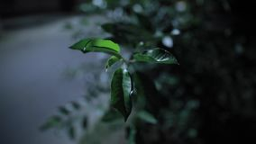 Crickets singing at night, contains original audio. Summer leaves on wind. Crickets singing at night, contains original audio. Summer leaves sway on wind stock video footage