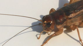 Crickets on a white background stock footage