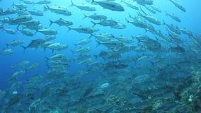 Crics de Bigeye instruisant en Solomon Islands clips vidéos