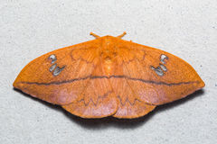 Cricula Silkmoth on the wall Royalty Free Stock Photography