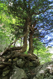 Crimea mountains tree in the rock life force Royalty Free Stock Photography
