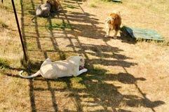 crimea Parco dei leoni 24 agosto 2018 Ombre della gente che guarda l'alimentazione dei leoni sul permesso su di osservare le piat immagine stock
