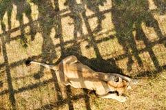 crimea Parco dei leoni 24 agosto 2018 Ombre della gente che guarda l'alimentazione dei leoni sul permesso su di osservare le piat immagini stock