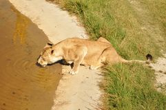 crimea Parco dei leoni 24 agosto 2018 Ombre della gente che guarda l'alimentazione dei leoni sul permesso su di osservare le piat immagine stock libera da diritti