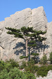Crimea pine Royalty Free Stock Images