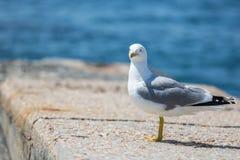 crimea Stående av seagullen Arkivbild