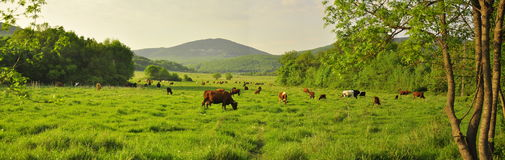 The Crimea in the summer on a green meadow field grazing brown cow view Royalty Free Stock Images