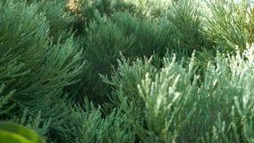 crimean Πράσινες βελόνες υποβάθρου στοκ εικόνα