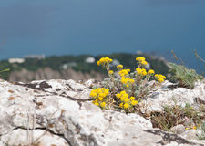 Crimean Alyssum Rocky flowers Royalty Free Stock Photo