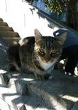 Crimean cat. Crimean cat, living in Livadia, near Yalta Stock Photography