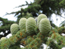 Crimean cedar cones. On a branch Royalty Free Stock Photography