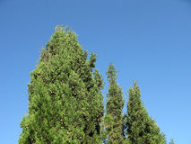 Crimean cypresses. High crimean cypresses with cones Stock Photos