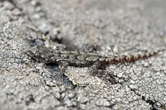Crimean gecko. mimicry Stock Photo
