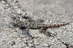 Crimean gecko. mimicry. Mediodactylus kotschyi danilewskii. The rarest subspecies of Kotschy's gecko. Ukraine Stock Photo